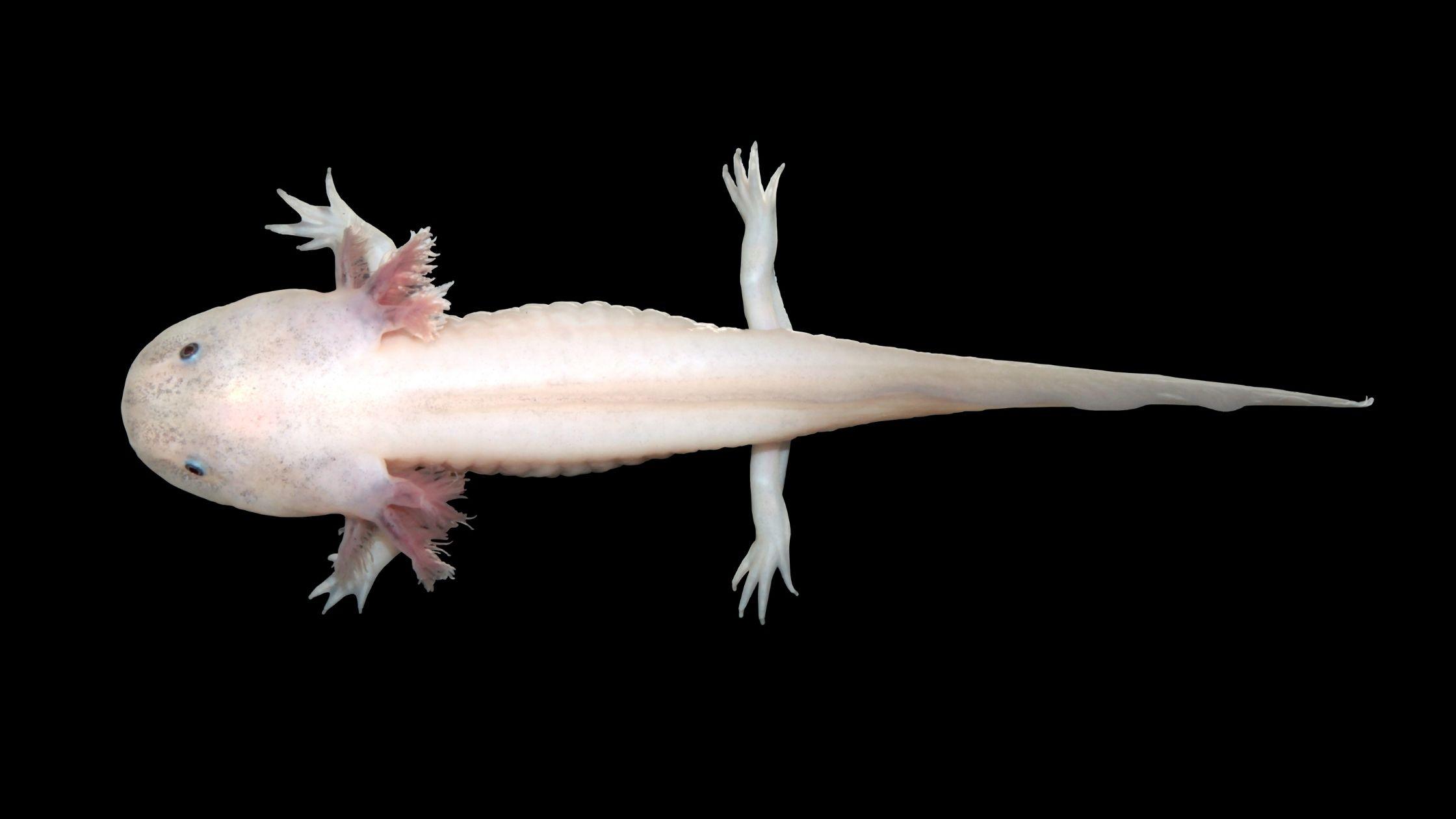 All About Axolotls Blog Banner