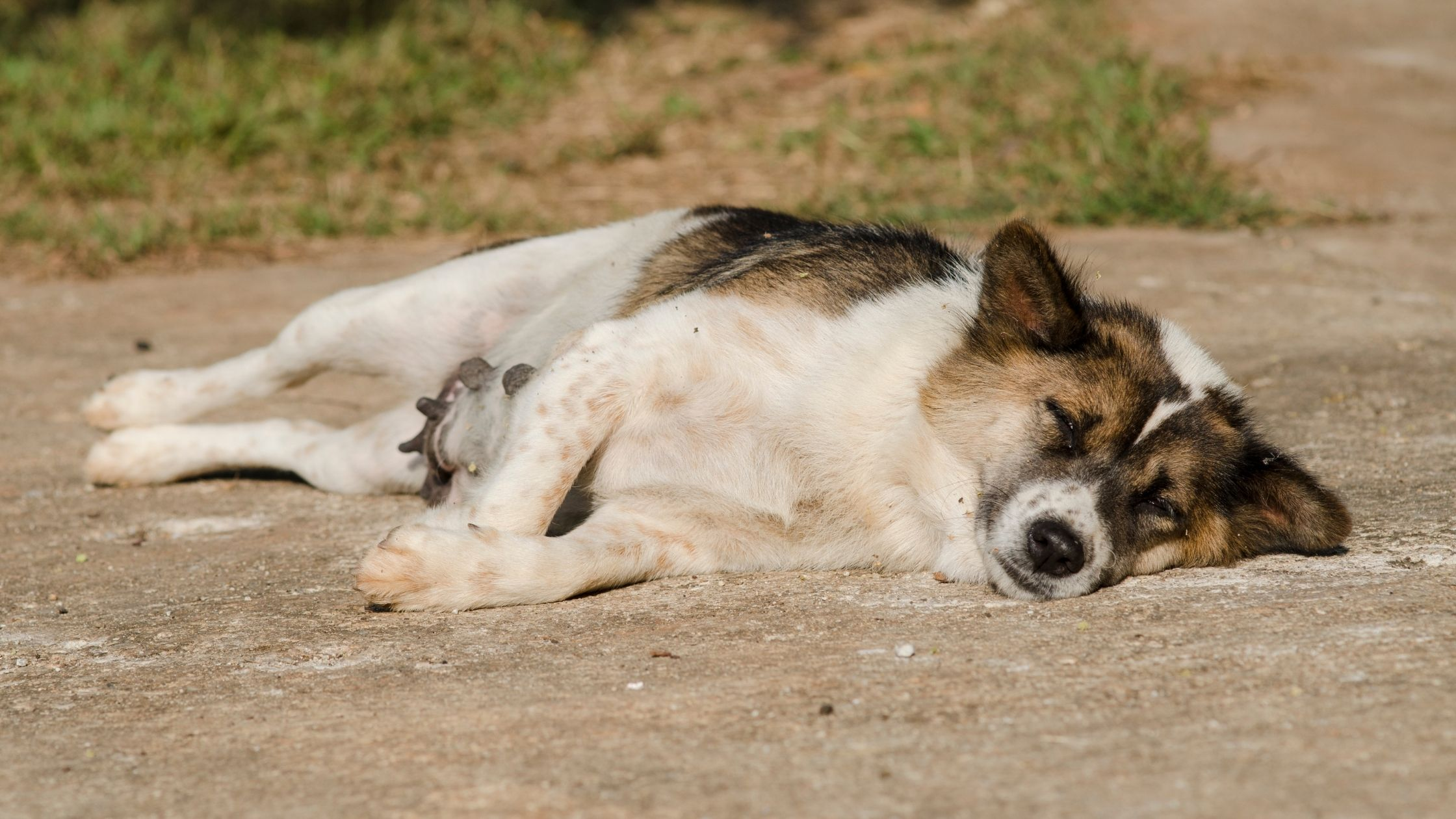 How To Do CPR On A Dog Or Cat Blog Banner