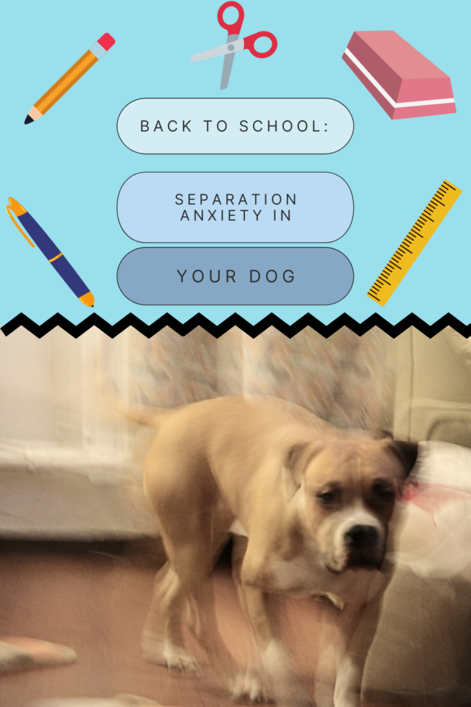 Back To School Separation Anxiety In Your Dog